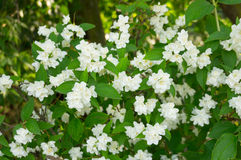 White bush flowers Royalty Free Stock Photo