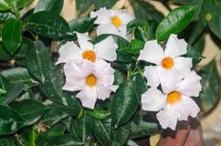 Free White Bush Flowers Mandevilla Or Dipladenia, Close Up. Dogbane Family, Apocynaceae Rocktrumpet Stock Image - 139818041