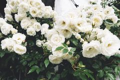 White bushy braided roses in garden on background of stone old house closeup on a sunny summer day, buds of delicate flowers stock images