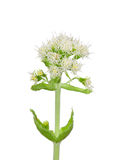White Butterbur (Petasites albus). Colorful and crisp image of white Butterbur (Petasites albus Stock Photo