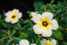 White buttercup. Royalty Free Stock Photos