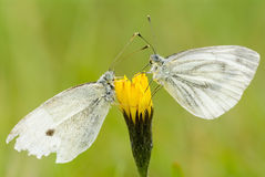 White butterflies Stock Photos