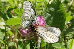 White butterflies (aporia crataegi) Royalty Free Stock Photos