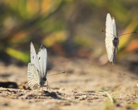 White butterflies circling above the sand beach Stock Photo