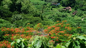 White butterflies feeding on the red flowers of Royal Poinciana tree with local cottages. In background, Java, Indonesia stock video
