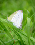 White butterflies grass Royalty Free Stock Image