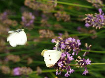 White butterflies mating royalty free stock image