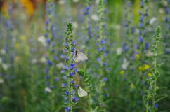 White Butterflies on Purple Flowers Royalty Free Stock Photography