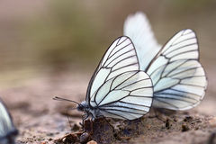 White butterflies on sand Royalty Free Stock Images