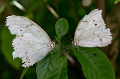 White butterflies in south Florida Royalty Free Stock Photography