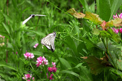 White butterflies together on flower and one in flght. White butterflies together on the flower and one in flght Royalty Free Stock Images