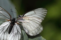 White butterfls Royalty Free Stock Photo