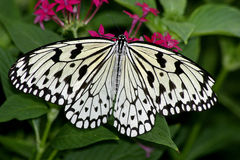 White butterfly. Butterfly on flower royalty free stock photography
