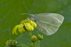 White butterfly. Covered with dew on a yellow flower Stock Image