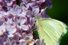 White butterfly. A large white butterfly, latin name is Pieris brassicae, commonly found on meadows and/or open fields Royalty Free Stock Photo