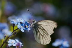 White butterfly. A white butterfly on blue blossoms stock photo