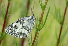 White butterfly. Sits on a stalk of grass Royalty Free Stock Images