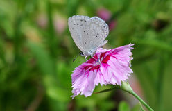 White butterfly Stock Image