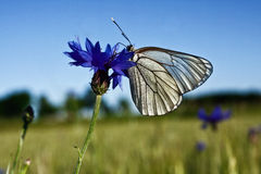 White butterfly. On blue flower royalty free stock image