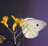 White butterfly Stock Images
