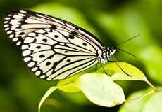 White butterfly. White Black butterfly standing on yellow leaf Stock Photography
