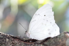 White butterfly Stock Photography