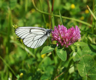 The white butterfly Royalty Free Stock Photography