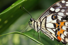 White swallowtail butterfly Stock Image
