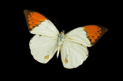 The White Butterfly 3. White butterfly isolated on a black background Royalty Free Stock Photos