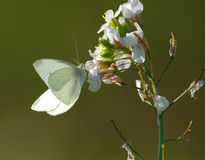 White butterfly. On white flower Stock Photos