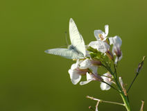 White butterfly. On white flower Stock Image