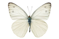 Free White Butterfly Royalty Free Stock Image - 46588036