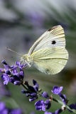 White butterfly. Feeding on blue flowers Stock Image