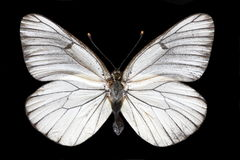 White butterfly. Beautiful butterfly isolated on the black background stock photos