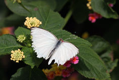 White Butterfly. Closeup of a white butterfly in some colorful flowers Royalty Free Stock Images