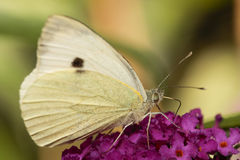 White butterfly. On flower bloom Stock Photography