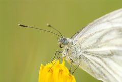 Free White Butterfly Royalty Free Stock Photo - 7283795