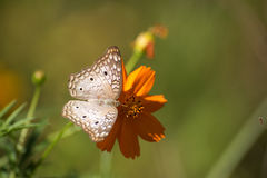 Free White Butterfly Royalty Free Stock Photo - 76880785