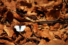 White butterfly. On autumnal leaves Stock Photos