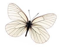 White butterfly Royalty Free Stock Photos