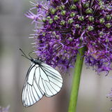 White Butterfly. On Allium giganteum flower Stock Photo