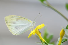 White butterfly and ant on yellow flower Royalty Free Stock Photo