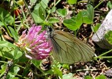 White butterfly (aporia crataegi) Royalty Free Stock Photo
