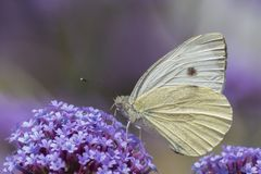 A white butterfly on purple flowers royalty free stock image