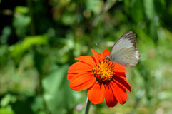White Butterfly on a beautiful flower. White Butterfly laying on a beautiful flower Stock Images