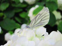 White butterfly on beautiful flower, Lithuania Stock Image