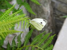 White butterfly. Beautiful white butterfly resting on the wild fern Stock Photography