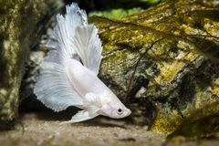 White butterfly betta fish stock image