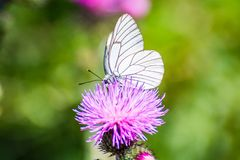 White butterfly with black lines sitting on violet flower Sylibum Marianum. France stock photos