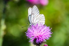 White butterfly with black lines sitting on violet flower Sylibum Marianum. France royalty free stock photo